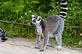 Lemur (36276337293).jpg