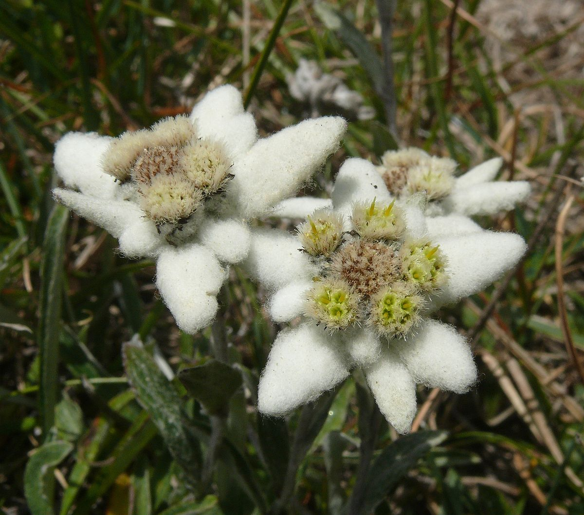 Edelweiss Simple English Wikipedia The Free Encyclopedia