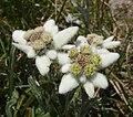 Leontopodium alpinum 280808.jpg