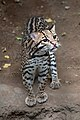 Leopardus pardalis -Franklin Park Zoo, Massachusetts, USA-8a.jpg