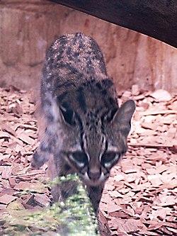 Leopardus tigrinus, au Zoo de Prague