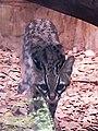 Leopardus tigrinus.jpg