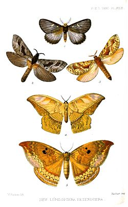 Lepidoptera2Purkiss1890.jpg
