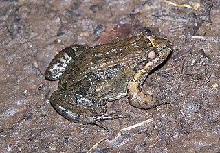 <i>Leptodactylus melanonotus</i> species of amphibian