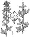 Lespedeza stuevei BB-1913.png