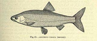 <i>Telestes ukliva</i> Species of fish