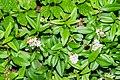 Ligustrum vulgare in Aveyron.jpg