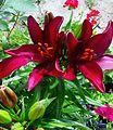 Lilies (8727533472).jpg