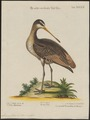 Limosa fedoa - 1700-1880 - Print - Iconographia Zoologica - Special Collections University of Amsterdam - UBA01 IZ17400031.tif