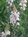 Linaria purpurea2.jpg