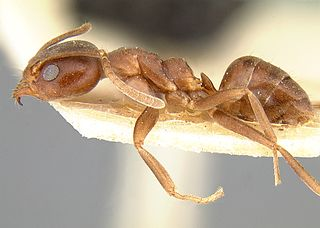 <i>Linepithema micans</i> Species of ant