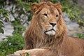 Lion (6066333941).jpg