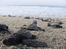 Newly hatched marine turtles walking down a beach to the sea