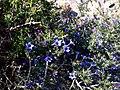 Lithodora fruticosa2.jpg