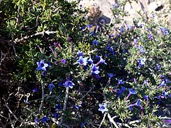 Lithodora fruticosa2.jpg