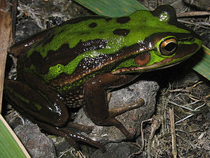 Green and golden bell frog - A green and golden bell frog with a dark colouration