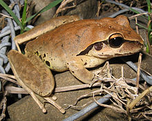 Litoria wilcoxi female.jpg