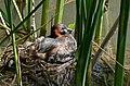 Little Grebe (Tachybaptus ruficollis) on its nest ... (26067409774).jpg