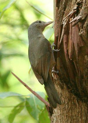 Shrikethrush - Image: Little Shrike thrush