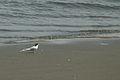 Little Tern コアジサシ (3497395000).jpg