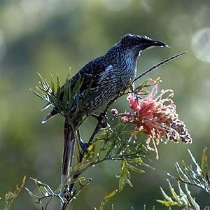Wattlebird - Image: Littlewattlebird