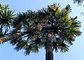 Livistona chinensis kz01.jpg