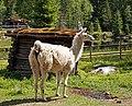 Llama in Finland.jpg