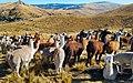 Llamas-alpacas-ocra-chinchaypujio-herding-corrall.jpg