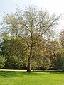 London Plane tree in Lower Park at Blenheim - geograph.org.uk - 796804.jpg