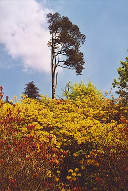 Lonesome Scots Pine, Leith Hill Rhododendron Wood. - geograph.org.uk - 135618