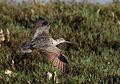 Long-billed curlew, Numenius americanus, Moss Landing (Elkhorn Slough and beach), California, USA. (30917794286).jpg