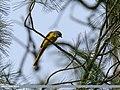 Long-tailed Minivet (Pericrocotus ethologus) (35615212492).jpg