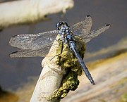 Long Skimmer. mature male. Orthetrum trinacria (24800785117).jpg