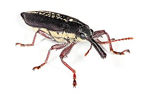 alt=Description de l'image Long nosed weevil.jpg.