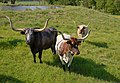 Longhorn cattle grazing. (25112017775).jpg
