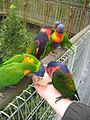 Lorikeets drinking nectar at Jurong Bird Park-5.jpg