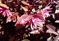 Loropetalum chinense 'Razzle Dazzle' kz5.jpg