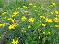 Lotus pedunculatus 01.JPG