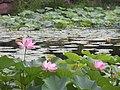 Lotuses (28819565751).jpg