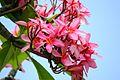 Lovely plumeria flowers (8928918283).jpg