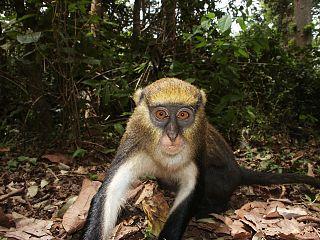 Lowes mona monkey Species of Old World monkey