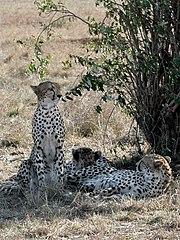 Rodina gepardů