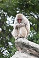 Macaca fuscata in Ueno Zoo 2019 30.jpg