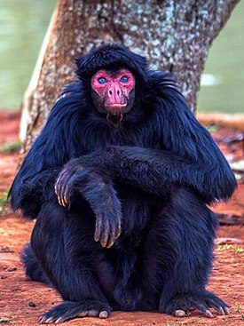 Macaco-Aranha (Red-Faced Spider Monkey)2.jpg