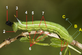Macroglossum.stellatarum.caterpillar.3017.Liosi tagged.png