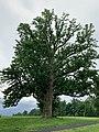 Magnolia acuminata- old tree in Irwin Park, New Canaan,CT,USA.jpg