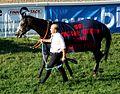 Magyar Derby 2010 A győztes ló Shamal Sally II.JPG