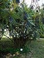 Mahonia lomariifolia takeda 1.JPG