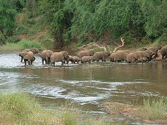 Makuleke - A breeding herd of elephants crossing the Luvuvhu in the Makuleke area