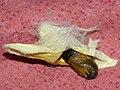 Malacosoma castrense - Ground lackey (pupa) - Молочайный коконопряд (куколка) (27133448648).jpg